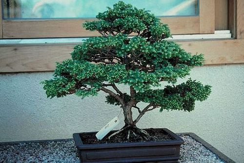 bonsai full 696105.jpg