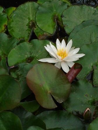 Framandi flóra