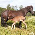 Gleði (and her foal after Karri Neðra-Seli) frá Húnsstöðum