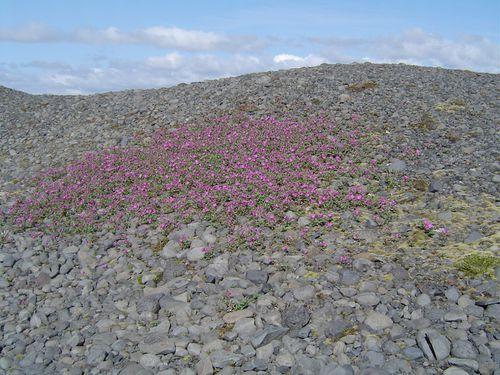 Eyrarrós   Epilopium latifolium