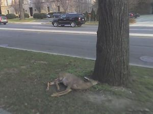 Who killed Bambi?.jpg