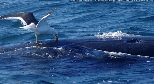 Mávur að nærast á hval.