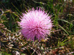nature-grass-plant-flower-purple-wild-1414654-pxhere.com (1)