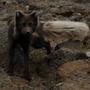 Refur fox close Iceland IP2013