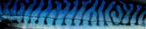 mackerel2.jpg