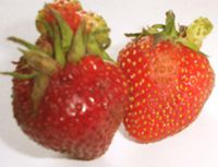 Berries could also have the tumours gmo01