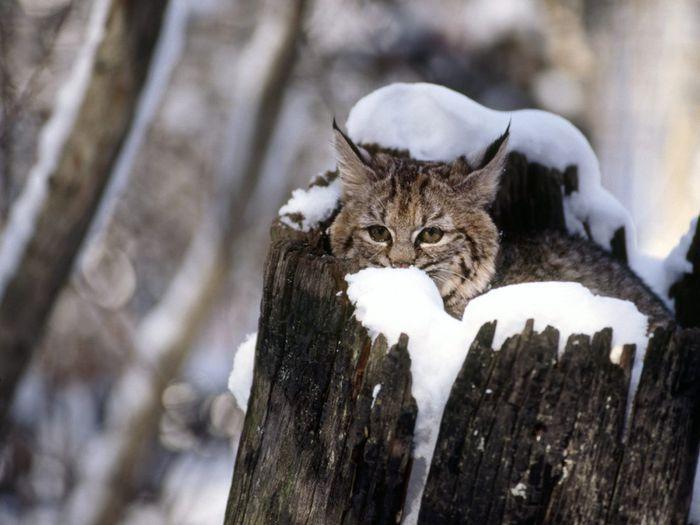Bobcat Kitten, Flathead Valley, Montana