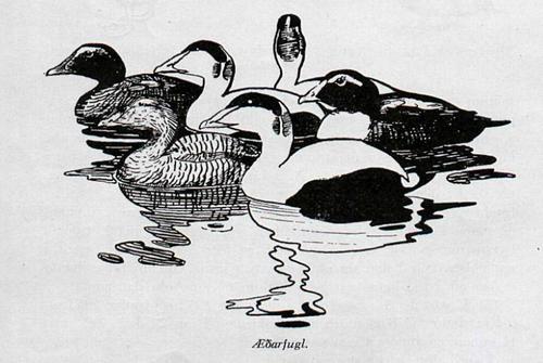 ArnThorAedarfugl1955