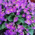 Laufeyjarlykill Primula vulgaris ssp sibthorpii