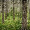 skogur