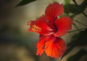 hibiscus-2818765_640