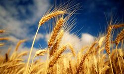 wheat-blue
