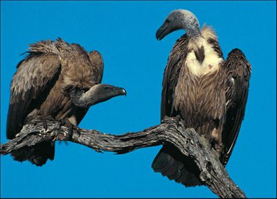 vulture-picture