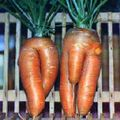 carrot-man-and-woman