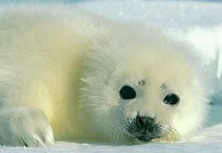 seal-baby