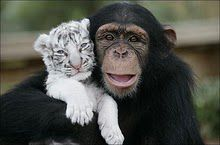 chimpanzee-and-tiger-best-friends.jpg
