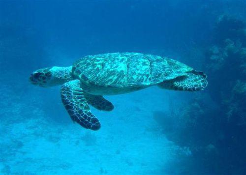 sea-turtle-at-amberjack.jpg