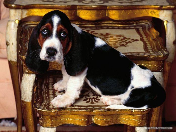 Basset Hound Wallpaper dogs 7013786 1024 768