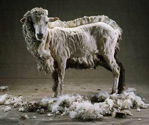 half-shaven-sheep.jpg